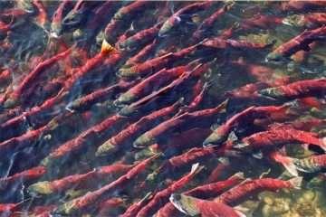 ammonia mine regulations salmon fix habitat